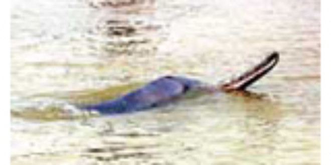 A Gangetic dolphin. Picture by Eastern Projections