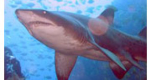 Grey Nurse Shark from Wikipedia