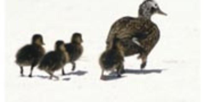 Laysan Ducks from Wikipedia