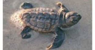 Loggerhead baby turtle