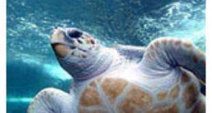 Loggerhead turtle - Wikipedia