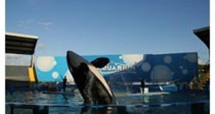 Lolita, the Orca From Krosstok (Flickr)
