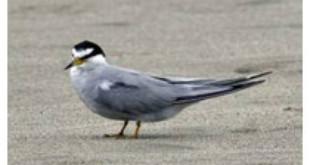Endangered Peruvian Tern is threatened by disturbance and coastal development.