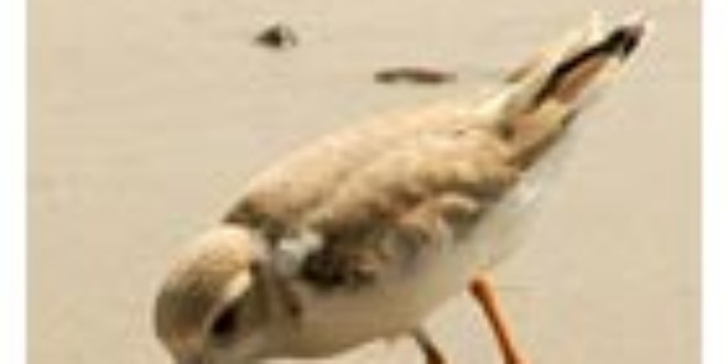 Plover from Farriella for News
