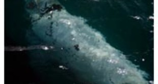 Southern Right whale From thewest.com.au