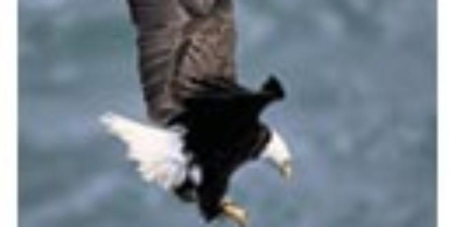 Sea Eagle From Wikipedia