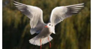 Sea Gull from Wikipedia