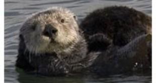 Sea Otter From Wikipedia