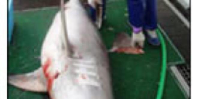 Shark finning scoop.co.nz