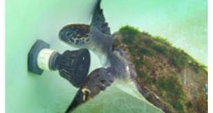 Turtle rescued- latimes.com