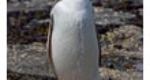 Yellow-eyed-penguin from Wikipedia