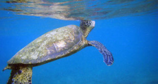 Green turtle breaks the surface to breathe.
