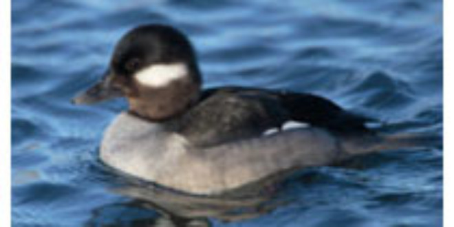 Duck from Wikipedia