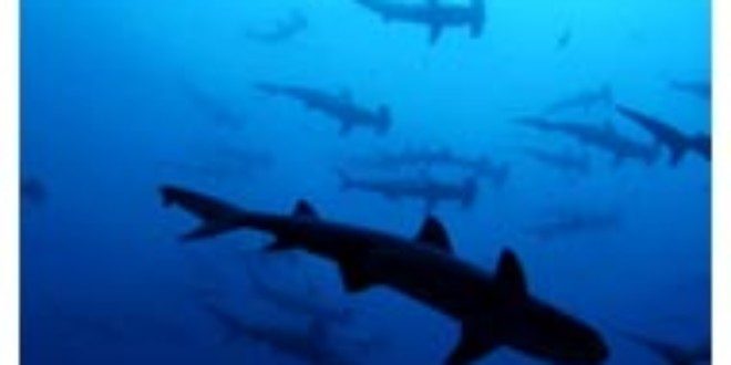 Threatened Sharks