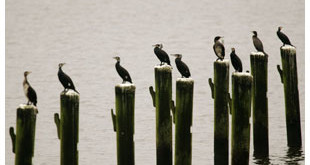 Cormorants sit on poles in the Schlei River in northern Germany in February. (KEYSTONE/AP Photo/Heribert Proepper)