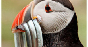 Off menu: Sandeel is a Puffin delicacy