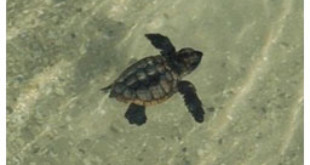 Sea Turtle Hatchlings Released From ktla.com