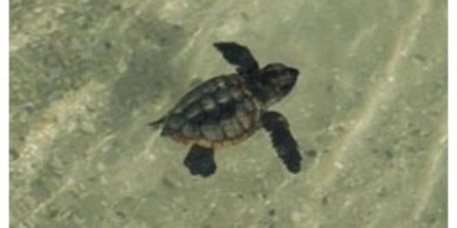Sea Turtle Hatchlings Released From ktla.com