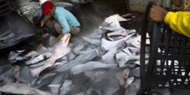Nearly 100 million sharks are killed every year due to the enormous demand for shark fins to make shark fin soup.