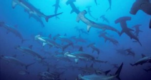 Hammerhead sharks swim in the Colombian wildlife sanctuary. Credit: Yves Lefebre/Associated Press
