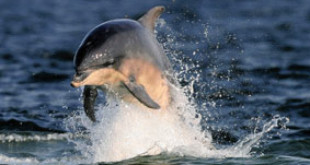 One of the Moray Firth dolphins, soon to be the subject of research.