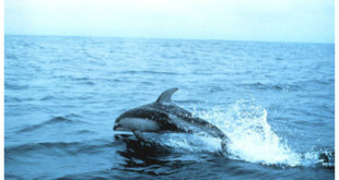 Pacific White-sided Dolphin (Wikipedia)