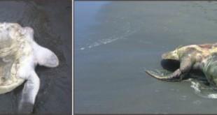 Sea turtles wash up on coast dead. Photo: STAR