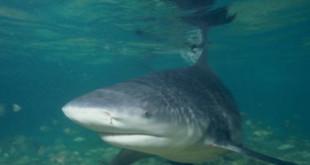 Bull Shark. Credits: Wikipedia