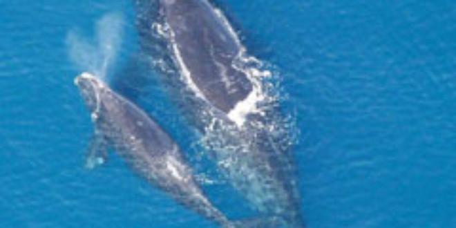 North Atlantic Right Whale and calf. Credits: Wikipedia