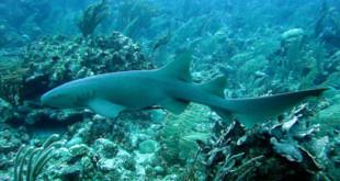 Nurse shark near Ambergris Caye, Belize. Credits: Wikipedia