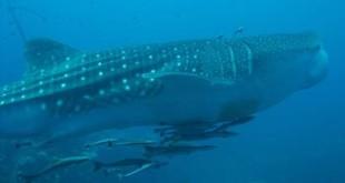 Basking Shark. Credits: Wikipedia