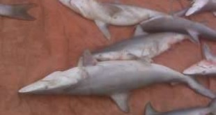 More than 300 sharks, including these ones, were caught and will have their fins harvested. Courtesy Daniel Hawkins