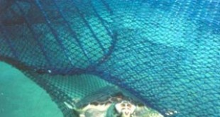 Loggerhead turtle escapes from a fishing net through a TED. Credits: Wikipedia