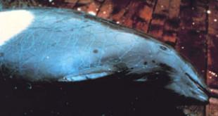 Entangled porpoise. Credits: Wikipedia