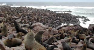 Brown Fur Seal colony at Cape Cross. Credits: Wikipedia