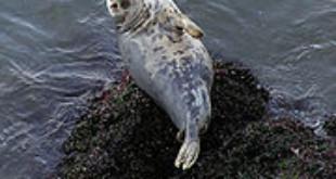 Gray Seal. Credits: Wikipedia