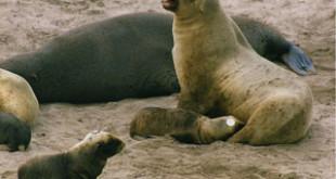 A New Zealand Sea Lion nursing at Enderby Island, New Zealand. Credits: Wikipedia