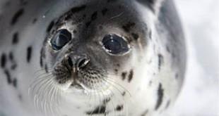 EU adopts seal product ban despite Canadian threat