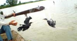Cormorants are caught in a net by a poacher. — VNA/VNS Photo Le Hoang Vu.