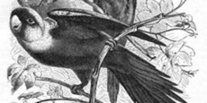Carolina Parakeet (Conuropsis carolinensis). Extinct (IUCN 3.1)