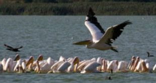 White Pelicans in Northern Bulgaria. Photo by birdholidays.co.uk