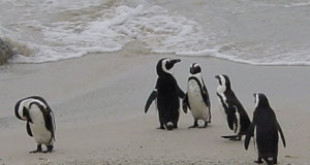 African Penguin (Spheniscus demersus). Credits: Wikipedia