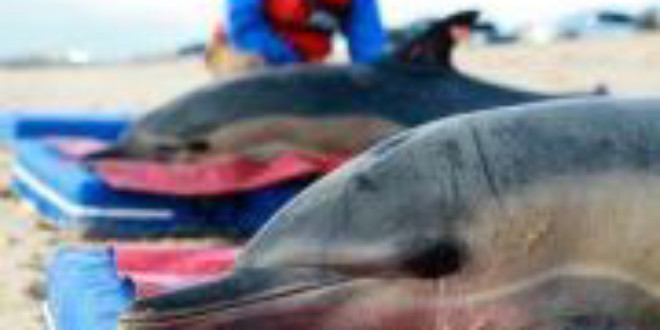 Photo: Dying Dolphins in Peru