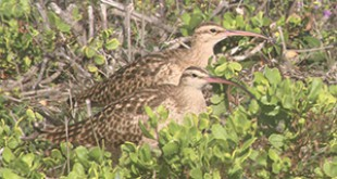 Bristle Thighed Curlews that winter here from Alaska