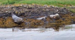 La industria del salmón relacionada con la muerte de más de 300 focas