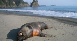 Los leones marinos aparecidos muertos en la costa de Perú fueron envenenados
