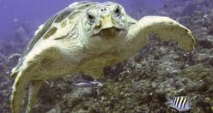 Nesting Gulf loggerheads face offshore risks