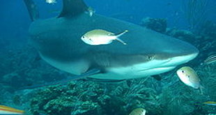 Explainer: Sharks—why size and species matter