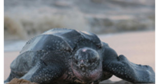 Satellite tracking identifies Atlantic Ocean risk zones for leatherback turtles