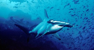 605px-Hammerhead shark Cocos Island Costa Rica